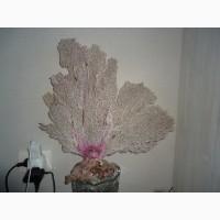 Большой кораллл
