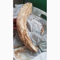Продам фрагмент бивня южног мамонта, 33см 1кг