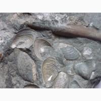 Продам окаменелые останки двустворчатых моллюсков