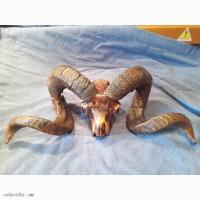 Продам череп Архара, больше 50 лет